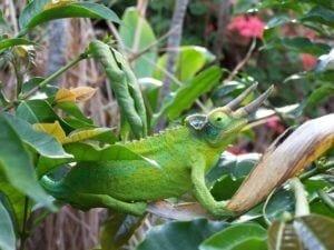 Green Gecco Hawaii