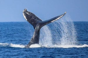 Tale of whale The Big Island Hawaii