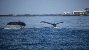 Whales excursions Hawaii Island Recovery