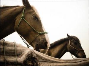 Wild horses Hawaii recovery