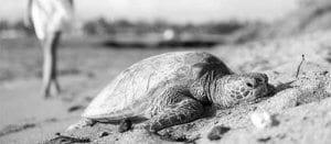 Addiction treatment help | Hawaii Island Recovery turtle