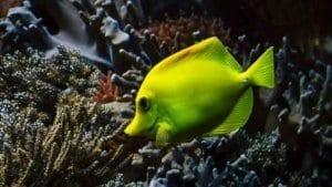 Hawaiian doctor fish