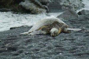 Hawaiian turtle on the beach