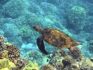 Sea turtle in Hawaii