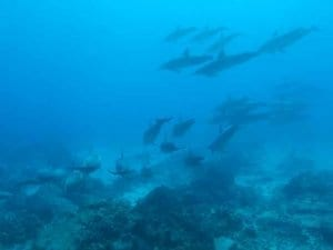 Wild dolphins in the ocean