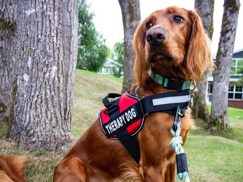 Therapy dog   Animal-assisted Therapy