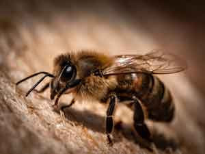 Bees   Animal-assisted-therapy